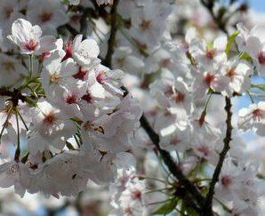 桜を誘うお弁当 2番館